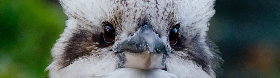 Photo of Kookaburra courtesy of Jackie Delaney