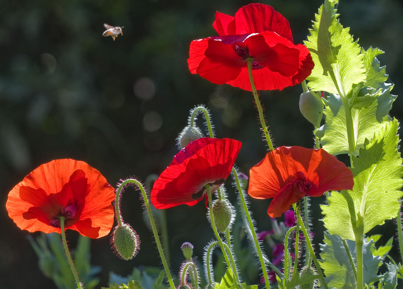 Photo of poppies courtesy of Jackie Delaney